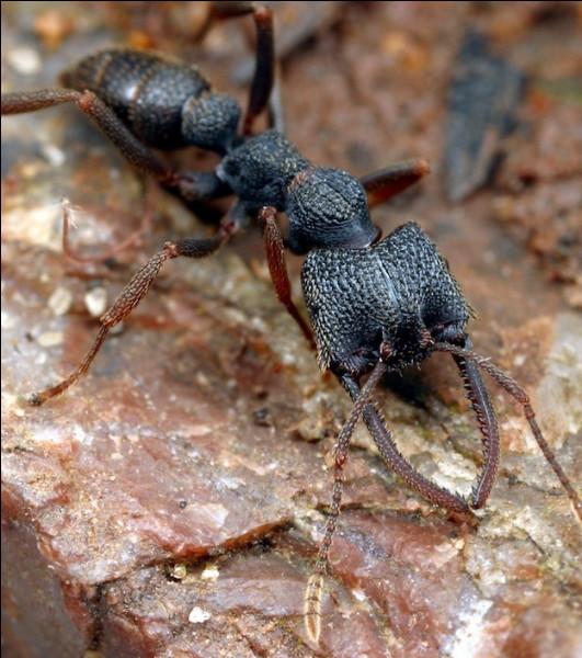 Cette fourmi est extraordinaire, elle détient le record de vitesse de tous les animaux connus, elle peut frapper 5000 fois plus vite qu'un battement de cil, on lui a donné un surnom !