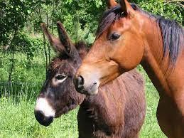 Un âne ou un cheval ?
