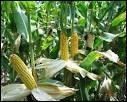 Quel type de maïs, produit par Novartis, fit beaucoup parler de lui à la fin des années 90 ?