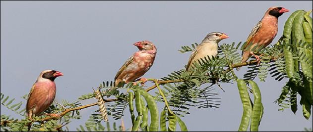 """Voici des oiseaux aimant vivre en colonies et se déplaçant fréquemment en nuées pour trouver leur nourriture s'il le faut. Les mâles arborent une belle tenue de parade et l'aspect le plus visible est le bec. Quel est le nom du """"mange-mil"""" ?"""