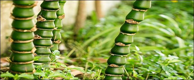Ce bambou est nommé ventre de [...].