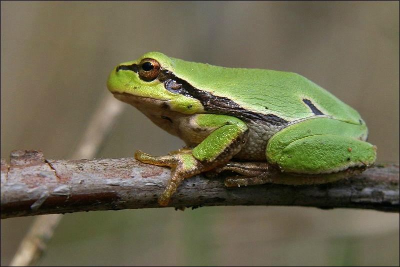 Quelle est cette grenouille verte, la plus connue d'Europe avec des yeux d'or et des pattes à ventouses ?