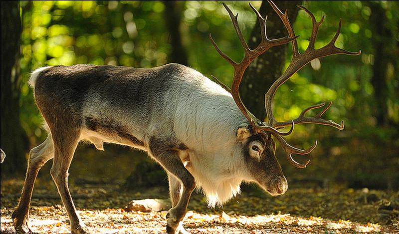 Quel est cet animal des régions froides, un grand cervidé au pelage brun ou gris qui tire le traîneau du père Noël ?