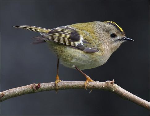 Quel est cet oiseau, le plus petit d'Europe avec une taille de sept centimètres et un poids de quatre à sept grammes ?