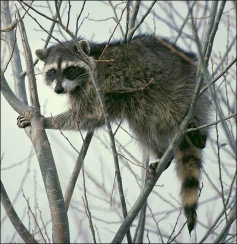 Quel est ce mammifère omnivore à longue queue qui a pour habitude de tremper ses aliments dans l'eau avant de les manger; il est chassé pour sa fourrure ?