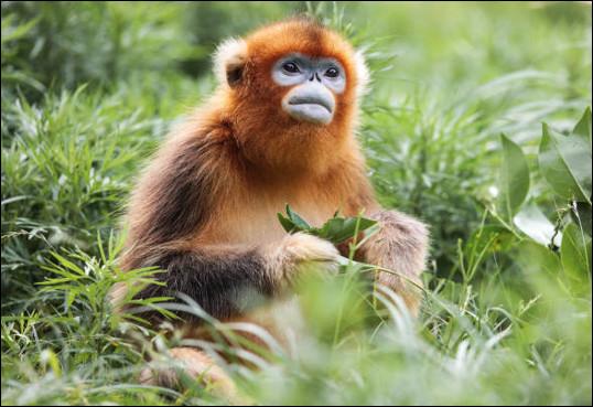 Quel est ce singe asiatique avec un appendice nasal réduit, de grandes narines, une fourrure épaisse, une queue très longue ?