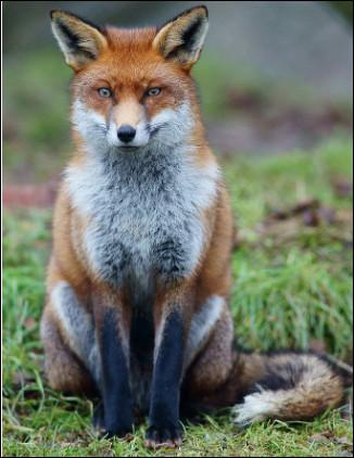 Quel est ce renard, race la plus plus répandue, avec un pelage fauve et blanc, un museau pointu, une queue touffue ?