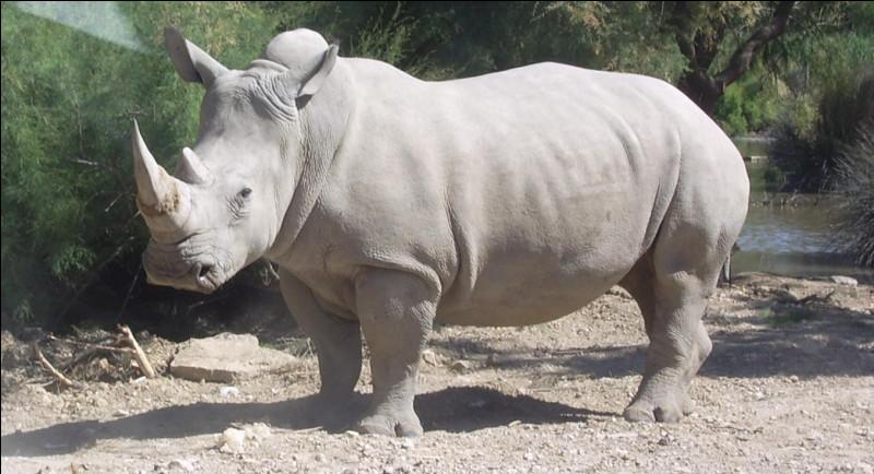 Quel est ce rhinocéros à peau claire, aux grandes oreilles, au museau large et court, à longue corne et avec une bosse sur le dos ?