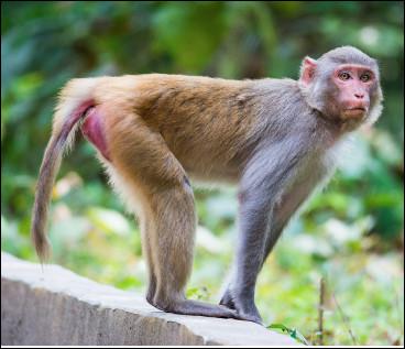 Quel est ce singe des zones arides à la sexualité débordante, facile à élever, animal de laboratoire, très utilisé pour des recherches médicales et biologiques ?