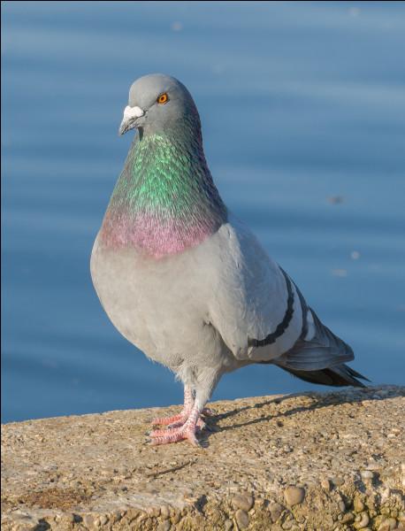 Pigeon sauvage, gris bleuté, nichant dans les trous de falaise !