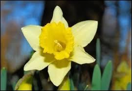 Comment s'appelle cette fleur caractérisée par sa couleur jaune ?