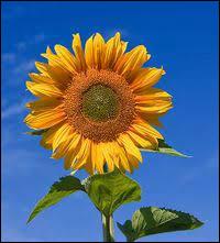 Quel nom porte cette fleur jaune qui fut peint à plusieurs reprises par Van Gogh ?