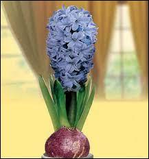 Comment s'appelle cette fleur à bulbe, idéal en intérieur ?