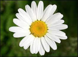 Quel est le nom de cette fleur aux pétales blancs et fleurissant en été ?