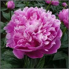 Comment se nomme cette fleur qui symbolise la sincérité ou la honte d'après le langage des fleurs ?