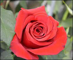 Comment s'appelle cette fleur qui lorsqu'elle est de couleur rouge, symbolise l'amour ?