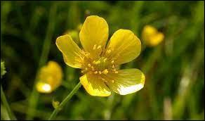 Comment s'appelle cette fleur formée de cinq pétales serrés et brillants ?