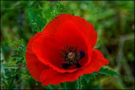 Comment se nomme cette fleur aux pétales rouges qui est très présente dans les champs ?