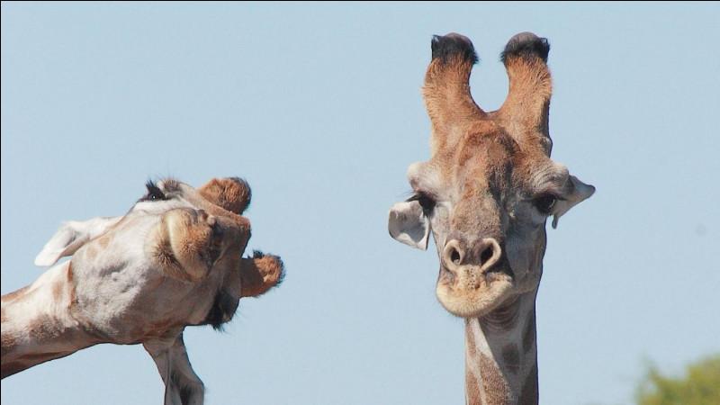La girafe met bas sa progéniture :