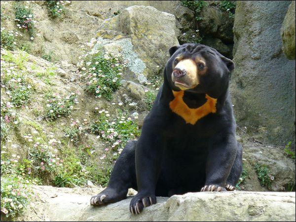 Animaux : quel est le plus petit des ours ?