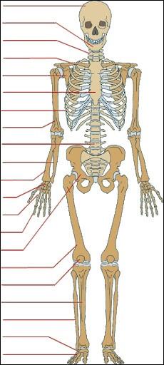 Sciences : à quel niveau du squelette se trouve l'os scaphoïde ?