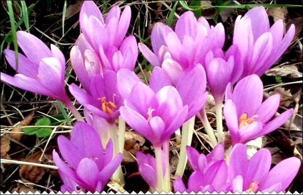 Botanique : quelle plante des prés humides fleurissant en automne est parfois appelée tue-chien ?