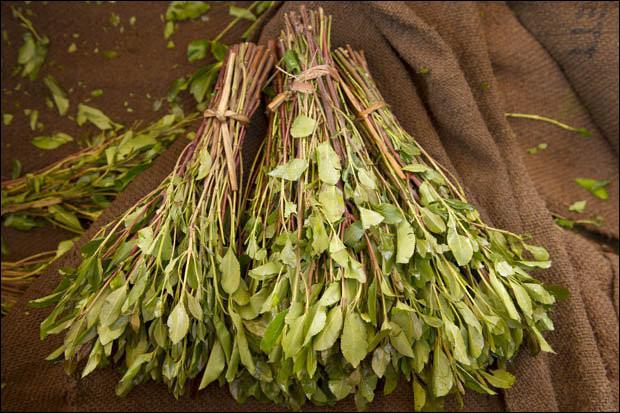 Arbustes d'Arabie dont les feuilles contiennent une substance hallucinogène :