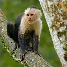 Animaux : quel petit singe d'Amérique vivant dans les arbres est aussi appelé saï ?