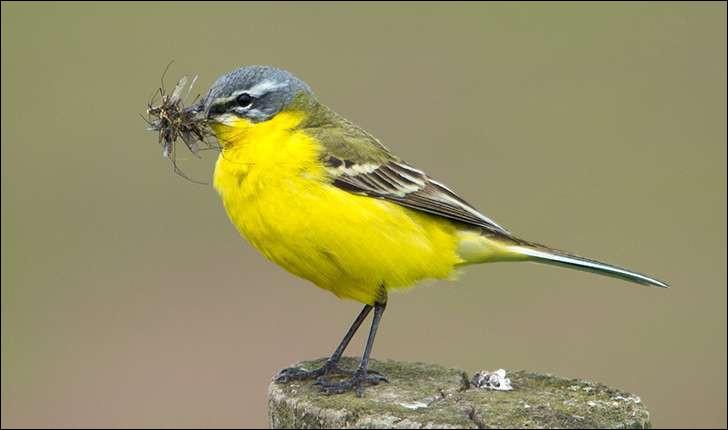 On retrouve cet oiseau essentiellement insectivore dans les champs cultivés de colza. Quel est son nom ?