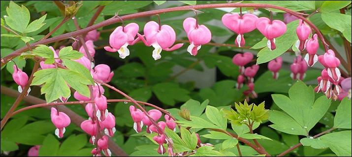 Quelles sont ces fleurs d'une grande élégance dont le nom latin les dit remarquables ?
