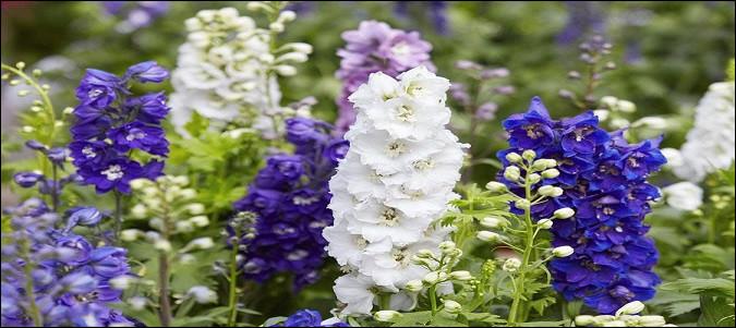 Attention, plante toxique, mais quelle floraison remarquable pour les hampes du genre [...] !