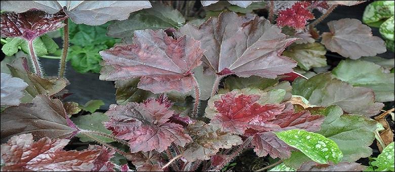 Voici une plante au feuillage pourpré et donnant des hampes fleuries de délicats pétales faisant le désespoir des peintres, selon la légende.