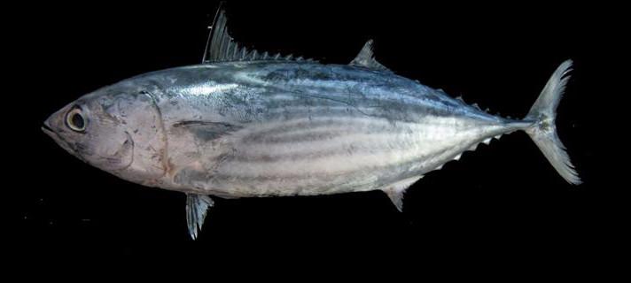 Quel est ce thon de petite taille (80cm) reconnaissable aux quatre ou six rayures que comporte son ventre ?
