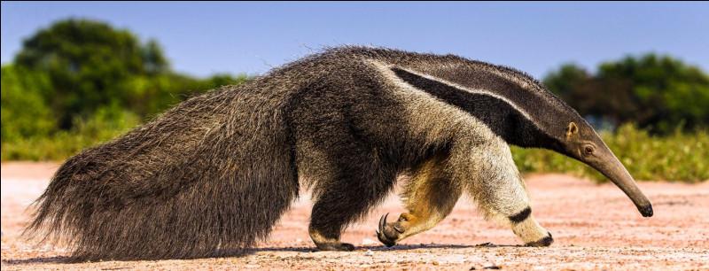 Quel est ce mammifère insectivore avec un museau très allongé et une queue touffue; il adore les fourmis et les termites ?