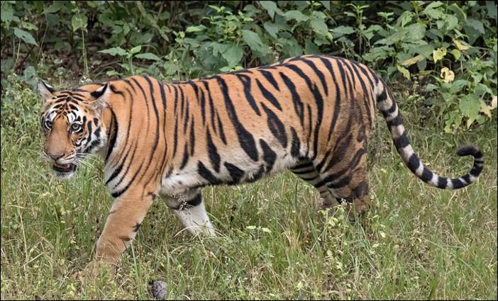 Quel est ce félin, la race de tigre la plus connue, vivant surtout en Inde ?