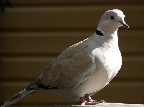 Quel est cette oiseau de la famille des colombidés, identifiable par son roucoulement ?