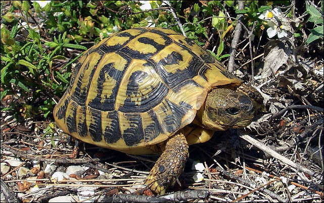 Quelle est cette espèce de tortue terrestre, la plus répandue en France et dont la carapace est fortement bombée ?