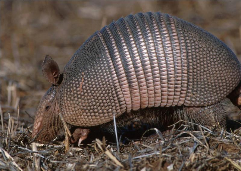 Quel est ce mammifère placentaire reconnaissable à ses plaques cornées qui forment une carapace défensive ?