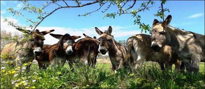 L'âne est un équidé, certes, mais hi-han, quel nom porte l'étalon ?