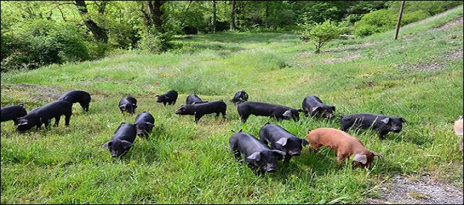 Quel est le tempérament du cochon ?