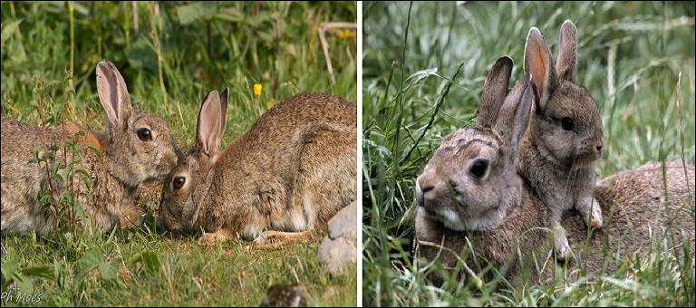 Le lapin est un mammifère rongeur.