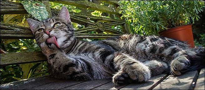 Les poils des chats peuvent provoquer des allergies.