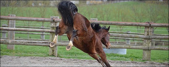 Le garrot du cheval est situé exactement là où se finit l'implantation de la crinière.