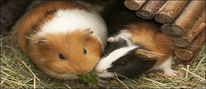 Adorables et sociables : les cochons d'Inde.3 types d'alimentation leur sont indispensables, à savoir : [...].