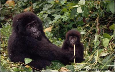 Quel est ce grand primate ?