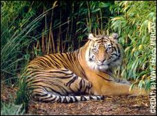 Quel est ce tigre ?