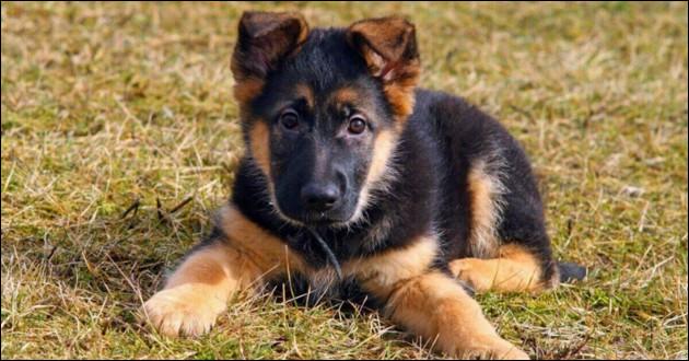 Intelligent, protecteur, mais il peut devenir aussi un chien d'attaque ! Je te fais confiance pour le dresser !