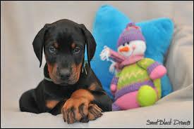 """Devenu adulte, tu l'apprécieras : son surnom est """"chien de gendarme"""" !"""