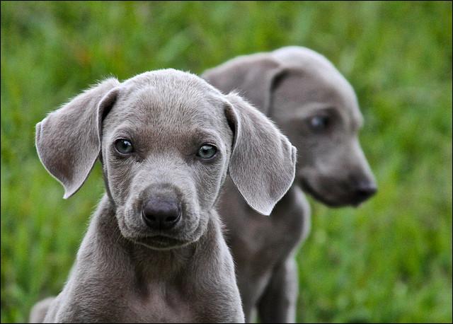 Il deviendra un grand chien de chasse. Très méfiant à l'égard des étrangers, c'est un chien qui est fait pour toi !
