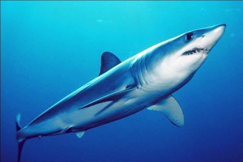 Des requins-taupes bleus :